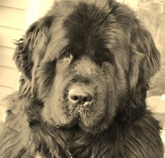 Seaman, a Newfoundland, went with Meriwether Lewis across the country & back on the Lewis & Clark Expedition (over 8,000) miles. One night Seaman saved Lewis & William Clark's life when an enraged buffalo stormed through their encampment and straight into their tent.