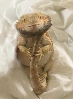 Fancy Bearded Dragon, Bearded Dragon Funny, Cute Little Animals, Cute Funny Animals, Cute Lizard, Pet Lizards, Cute Reptiles, Animal Magic, Dragon Pictures