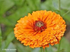 Pot Marigold: Calendul officenalis grown at Monticello,VA