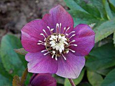 Ha eddig nem ismerted a hunyort, ezután imádni fogod – Balkonada Flowers, Plants, Oriental, Plant, Royal Icing Flowers, Flower, Florals, Floral, Planets