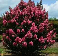 Coral Magic Crape Myrtle have crinkly coral blooms for months. Small and compact shrub-like crape myrtle tree. Disease resistant and Low Maintenance. Order from our online garden center for delivery to your door! Acid Loving Plants, All Plants, Myrtle Tree, Front Yard Landscaping, Outdoor Landscaping, Small Trees, Drought Tolerant, Hedges, Colorful Flowers