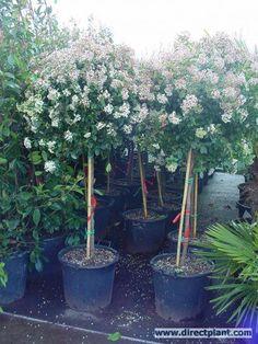 Viburnum Tinus op stam, bloeit met witte bloemen van jan. t/m mei, erna blauwe/zwarte bessen, waar de vogels gek op zijn. Kan -°12 verdragen, maar geen harde noord oosten wind. Alleen vormsnoei.