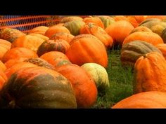 "Pumpkin Patch | P. Allen Smith Classics...... growing my heirloom ""big max"" pumpkins!!"