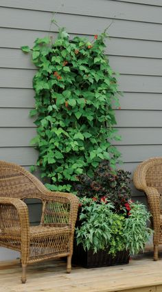 "Scarlet runner beans climb the trellis. Coleus, wax begonias, sweet potato vine, and creeping Jenny complete the combo. From my book ""Easy Container Combos: Vegetables & Flowers."" See a free, 24 page sample of the book at www.pamela-crawford.com in the 'Books' section."
