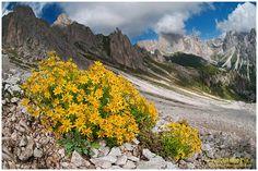 saxifraga aizoides, fiori di montagna, alpini, fotografia, foto, alpine flowers, dolomiti