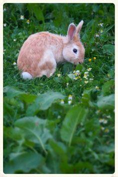 Orange/White rabbit in the wild.