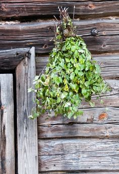A traditional Finnish way to improve your health! Go into sauna, Beat your friends with branches of a birch tree!