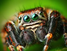 Male Jumping Spider - Researchers mimicked spider legs to design a powerful mechanical sensor Spider Face, Spider Legs, Spider Spider, Insect Eyes, Cool Insects, Jumping Spider, Fotografia Macro, Tier Fotos, Macro Photography
