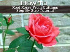 How To Root Roses From Cuttings Step By Step Tutorial! Works for clippings off your own plants, or from store-bought roses!