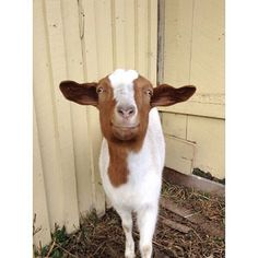 She's such a smiler! #goatsarefamily #iheartgoats #goats #toocute #animals…