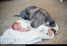 Pitbull Watching Over Baby