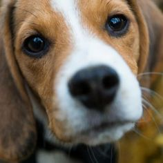One Unusual Trick STOPS Your Beagle Jumping Up! - beagle #beagle #dogtrainingjumping
