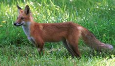 Red Fox - Wildlife and Heritage Service - Maryland Department of ...