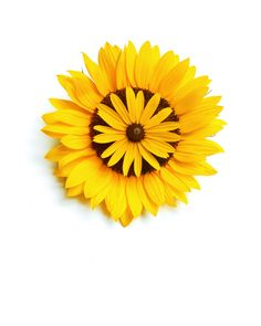 sunflowers | STILL (mary jo hoffman)