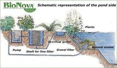 ideal pool plants | with plants, which help with the cleaning of the pool for the ideal ...