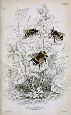 This reads Common Humble Bee, yet unfortunately they aren't as common as they were whilst I was young and innocent.