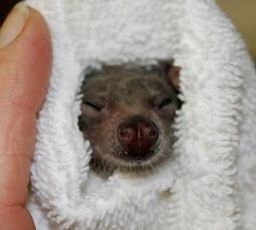 my ultra cute adoptee bat that lives in  Batworld rescue center:  http://www.batworld.org/adopt-a-bat-now/ her name is Peek-A-Boo
