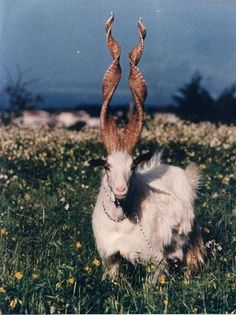 spiral-horned Markhor goat of Kashmir.  EXTREMELY endangered. (a few hundred left)  It is a pretty picture with a pretty sad story behind it for these guys: