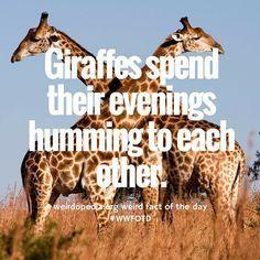 Fun Fact: Giraffes spend their evenings humming to each other. Giraffe Quotes, Giraffe Facts, Funny Giraffe, Cute Giraffe, Giraffe Humor, Baby Animals, Cute Animals, Unusual Animals, Weird Facts
