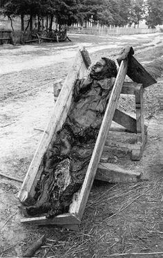 Kreepen Man, shortly after his recovery from a Lower Saxony (Germany) bog in 1903. His body has since fallen apart. The body was found lying face down on 9 or 10 June 1903. No clothing was found on the body, although stones and twigs were nearby. The remains were destroyed during World War II, but was dated to 1440–1625 CE after a piece of his hair was found.