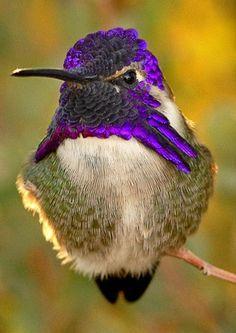 Totaly Outdoors: Ciara's hummingbird. Purplicious
