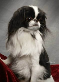 Hello Handsome ...... Japanese Chin chin-chin