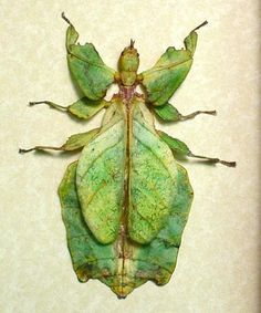 Phyllium giganteum Worlds Largest Green Walking Leaf Mimic conservation insect display
