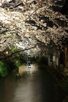 Kyoto Takase-gawa River cherryblossoms lightup