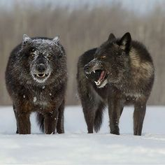 Timber wolf   Photography by @cjm_photography #Wildgeography