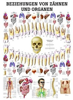 of teeth and organs Yoga, yoga mats & yoga accessories - Relationship of teeth and organs – Rüdiger Anatomie -Relationship of teeth and organs Yoga, yoga mats & yoga accessories - Relationship of teeth and organs – Rüdiger Anatomie - iridology chart Dental Health, Oral Health, Health Tips, Health Care, Health And Wellbeing, Health Remedies, Natural Health, Health And Beauty, Health Fitness