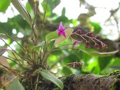 Lepanthopsis astrophora 'Stalky'