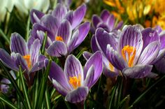 KING OF THE STRIPED crocus, 1880 – This long-loved Victorian king alternates mostly striped petals with mostly purple ones for a look that's charmingly imperfect.