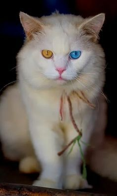 Turkish Angora Cat with different eye colors.