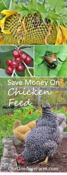 Save money on chicken feed, reduce dependence on industrial monocultures, make your chickens happier and their eggs healthier. Give them access to good habitat, let help in the compost, feed them from the vegetable garden, grow fodder, and raise grubs are just some of the possibilities discussed here. In short, think of chickens as part of a permaculture design.