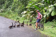 Coatimundi crossing a jungle road with cyclist by Exodus Travels