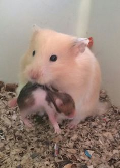 Proud Mama showing off little baby! I just love it when they allow us that first glimpse of what they worked so hard to give birth to. You can just see the pride in her face! Hamster Pics, Baby Hamster, Hamster Care, Baby Animals Super Cute, Cute Little Animals, Cute Funny Animals, Baby Animals Pictures, Cute Animal Pictures, Animals And Pets