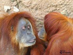 My husband catching them kissing :) Fort Worth Zoo, Orangutans, Kissing, Dallas, Husband, Animals, Animales, Animaux, Orangutan