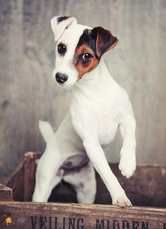 Adorable Jack Russell