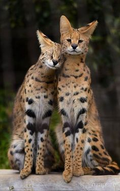 Felinos shared by María José on We Heart It Cute Funny Animals, Cute Baby Animals, Animals And Pets, Cute Cats, Pretty Cats, Beautiful Cats, Animals Beautiful, Serval Cats, African Serval Cat