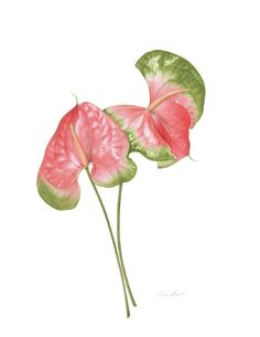 Fascinated by the colours and textures of seeds and fruits, Annie Hughes talks about her paintings. Illustration Botanique, Plant Illustration, Botanical Illustration, Watercolor Illustration, Botanical Flowers, Tropical Flowers, Botanical Prints, Colorful Flowers, Watercolor Drawing