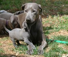 Lacy Dog, Lacy Game Dog, Texas Blue Lacy, Lacy Dog, Blue Lacy Puppies ...