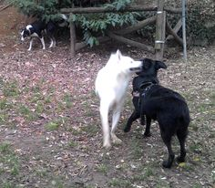 - Torino con Zeno e Peja Duke, Animals, Animales, Animaux, Animal, Animais, Peacocks