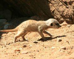 Mischievous meerkat.