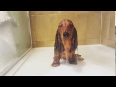 Dog Video: Relaxed Dachshund Takes A Shower | Global Animal #Dachshund