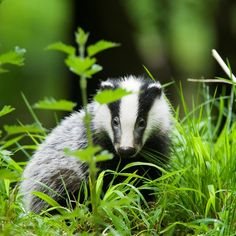 Badgers like our garden here in Herefordshire. The Wildlife Trusts (links to around UK)