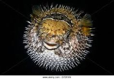 Image result for new zealand porcupine fish