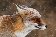 Bad Fur Day (Bye bye winter that never came) - 35 Lovely Fox Pictures  <3 <3