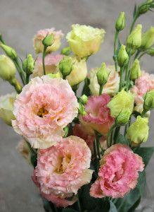Lisianthus | Stevens and Son Wholesale Florist