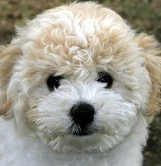 Bichon Frise Puppy Pictures and Information Puppy Images, Puppy Pictures, Dog Photos, Cavachon, Bichons, Westies, Baby Animals, Cute Animals, Dogs And Puppies