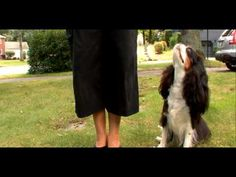 Dogs 101- Cavalier King Charles Spaniel Animal Planet  http://www.youtube.com/watch?v=rd5dR7YR2ig